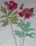 Peonies Red Flowers by Albrecht Dürer - authentic Albertina Museum collectible collotype fine art print