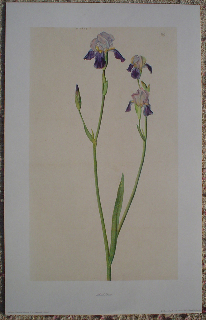 Schwertlilie Iris by Albrecht Dürer, shown with full margins - authentic Albertina Museum collectible collotype fine art print