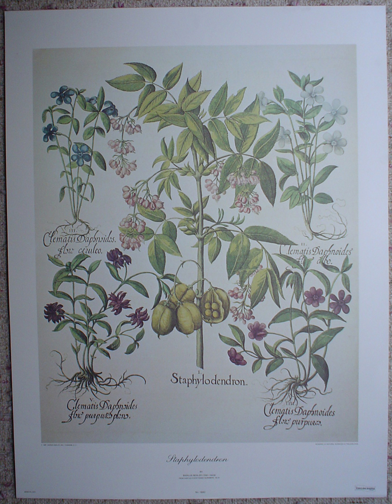 Botanical, Staphylodendron by Basilius Besler, shown with full margins - offset lithograph fine art print