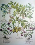 Botanical, Staphylodendron by Basilius Besler - offset lithograph fine art print