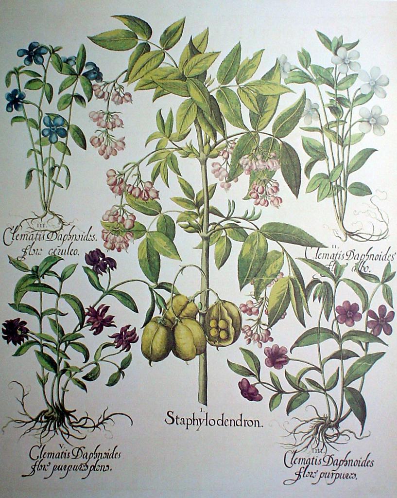 Botanical, Staphylodendron by Basilius Besler - offset lithograph fine art print