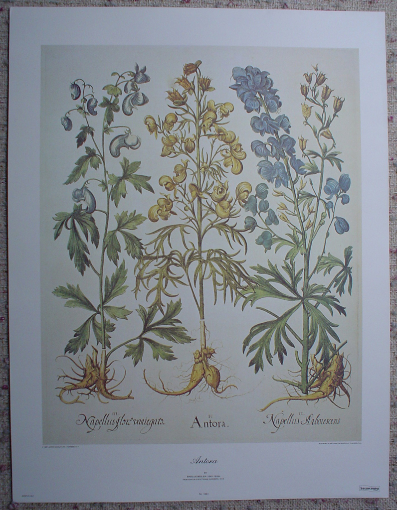 Botanical, Antora by Basilius Besler, shown with full margins - offset lithograph fine art print