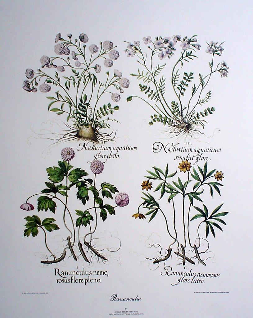 Botanical, Ranunculus by Basilius Besler - offset lithograph fine art print