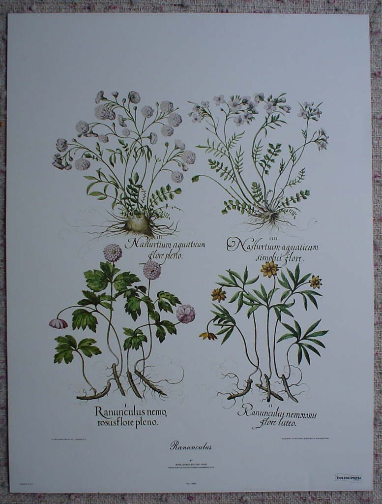 Ranunculus by Basilius Besler, shown with full margins - offset lithograph botanical fine art print