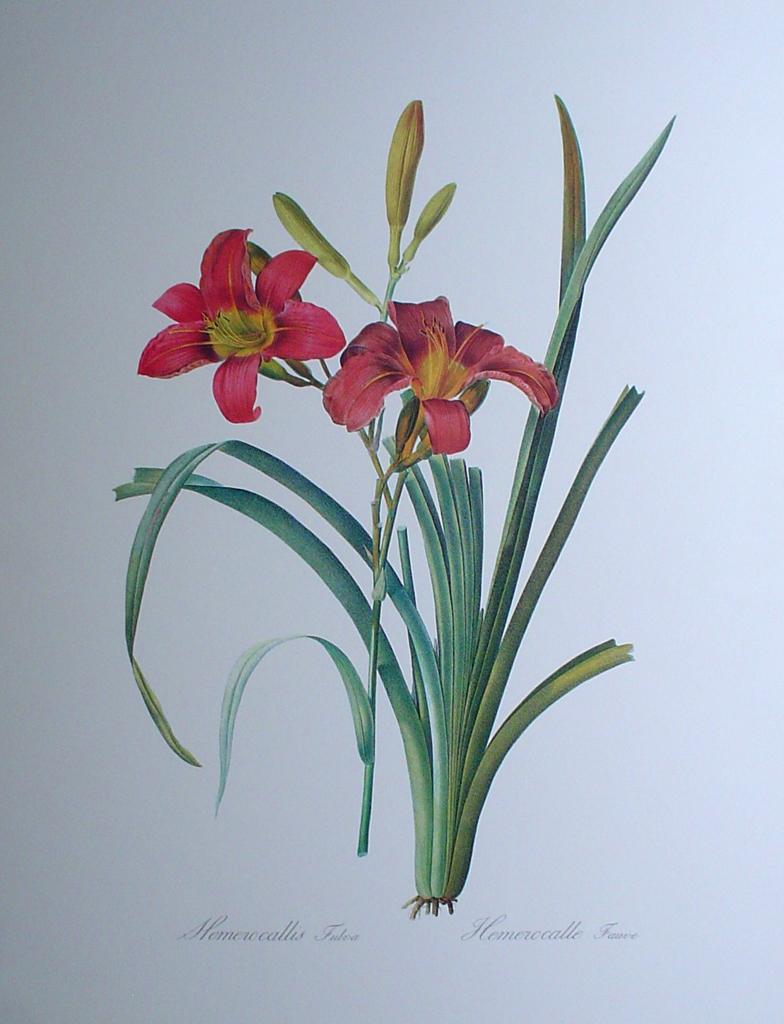 be020pv-ehret-floral_hemerocalle-fauve