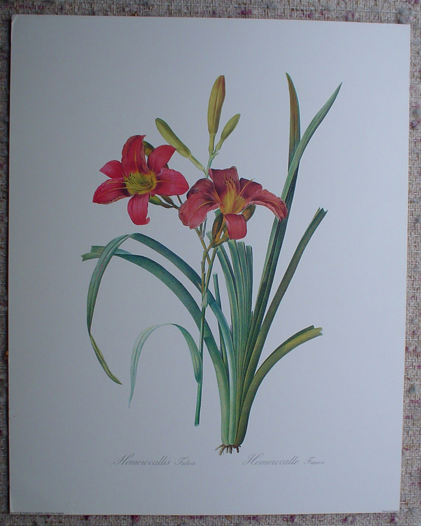 Botanical, Hemerocalle Fauve by Georg Dionysius Ehret, shown with full margins - offset lithograph fine art print
