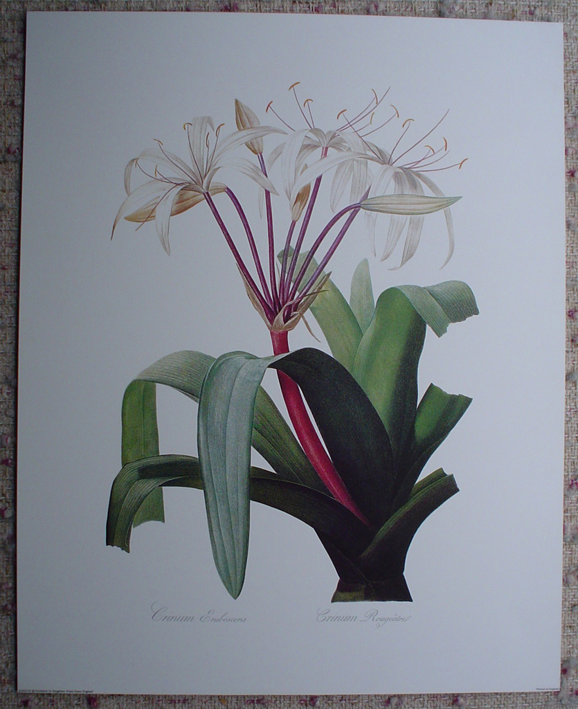 Botanical, Crinum Erubescens by Georg Dionysius Ehret, shown with full margins - offset lithograph fine art print