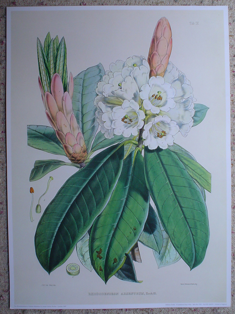 Rhododendron Argenteum, Himalaya by Joseph Dalton Hooker, shown with full margins - offset lithograph botanical fine art print