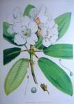Rhododendron Aukland II, Himalaya by Joseph Dalton Hooker - offset lithograph botanical fine art print