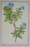 Botanical, Vinca 1757 by Philip Miller, engraved by R. Lancake - restrike etching, hand-coloured original print