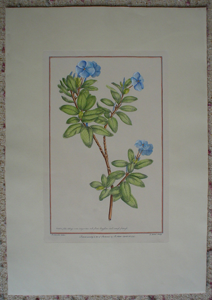 Botanical, Vinca 1757 by Philip Miller, engraved by R. Lancake, shown with full margins - restrike etching, hand-coloured original print