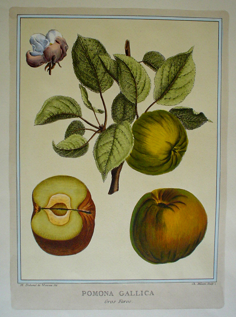 Pomona Gallica, Gros Faras by Duhamel du Monceau - restrike etching, hand-coloured botanical original print