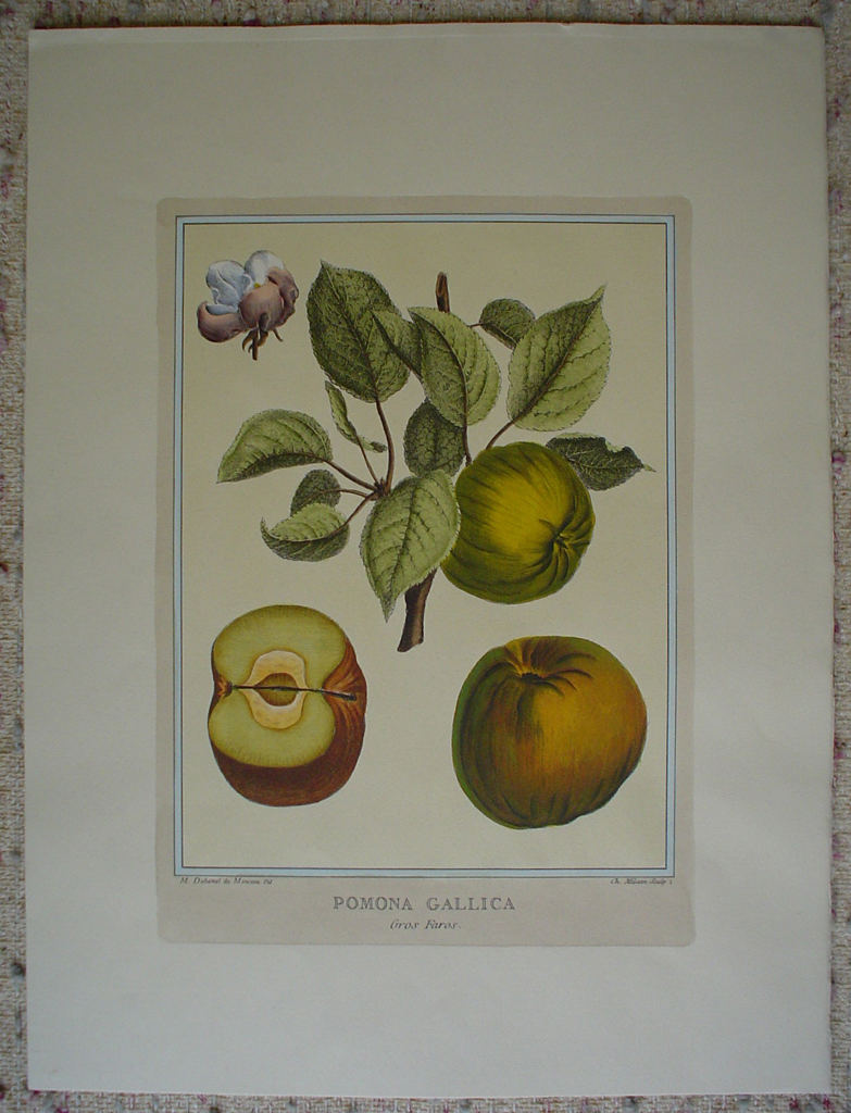Pomona Gallica, Gros Faras by Duhamel du Monceau, shown with full margins - restrike etching, hand-coloured botanical original print