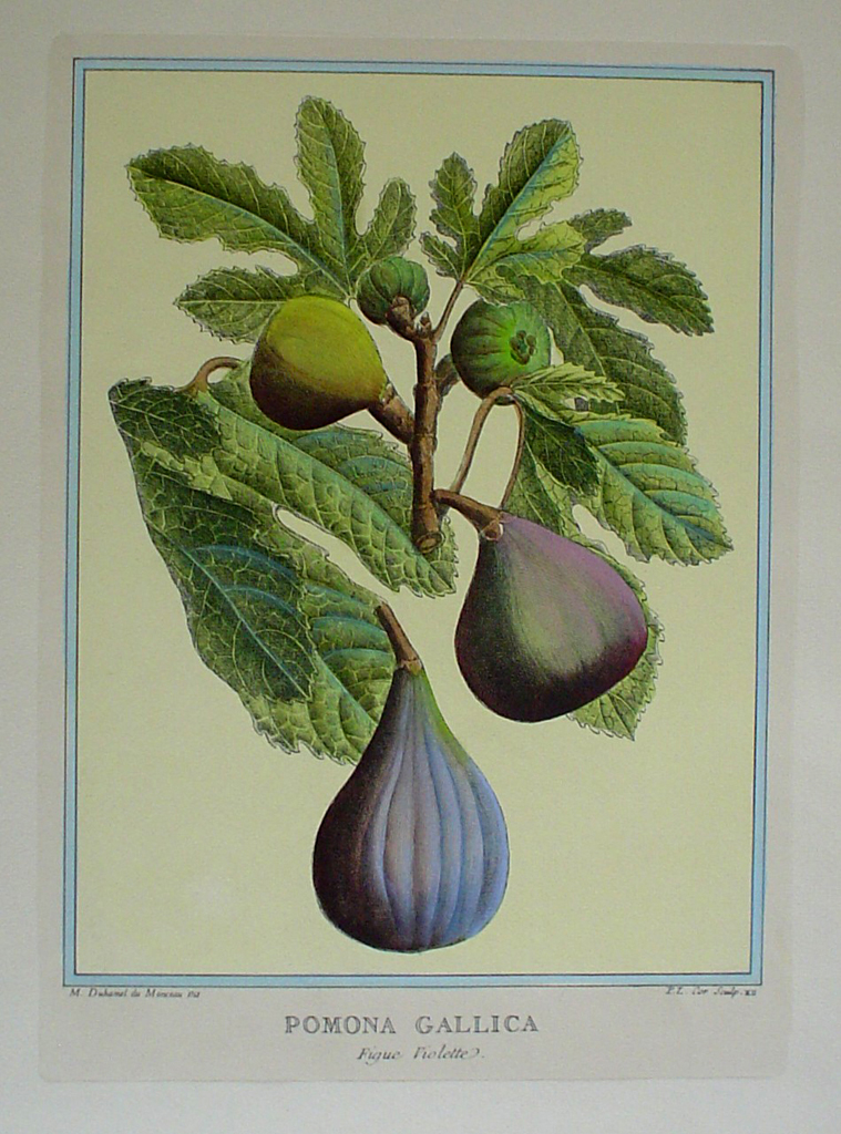 Pomona Gallica, Figue Violette by Duhamel du Monceau - restrike etching, hand-coloured botanical original print