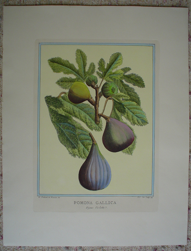 Pomona Gallica, Figue Violette by Duhamel du Monceau, shown with full margins - restrike etching, hand-coloured