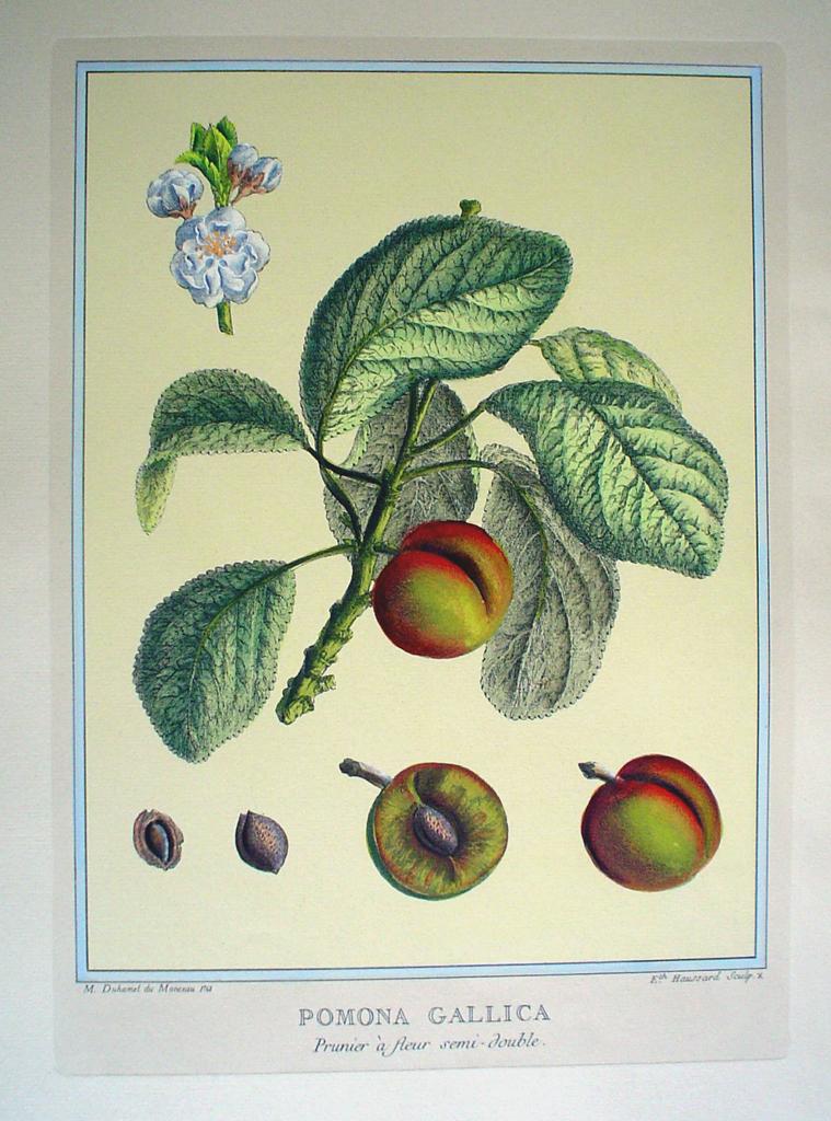 Pomona Gallica, Prunier A Fleur by Duhamel du Monceau - restrike etching, hand-colored botanical original print