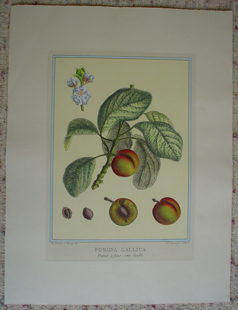 Pomona Gallica, Prunier A Fleur by Duhamel du Monceau, shown with full margins - restrike etching, hand-coloured botanical original print