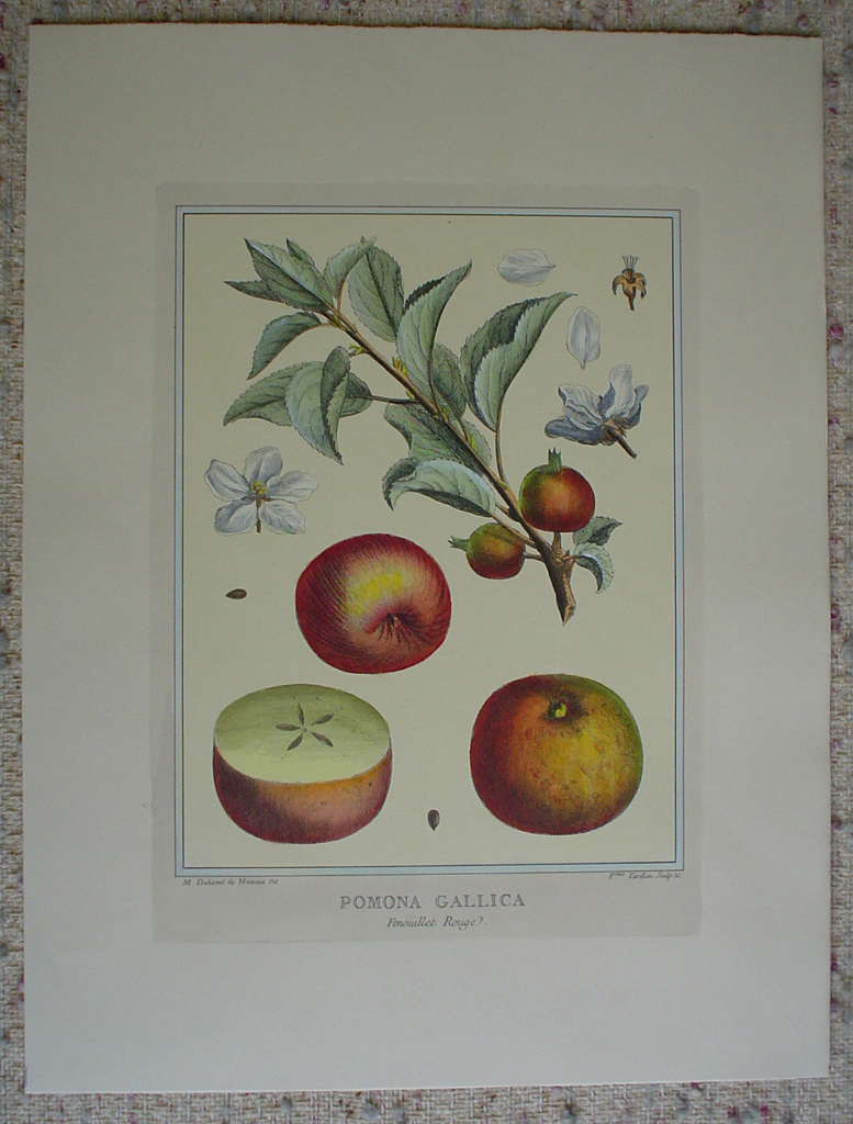Pomona Gallica, Fenouillet Rouge by Duhamel du Monceau, shown with full margins - restrike etching, hand-coloured botanical original print