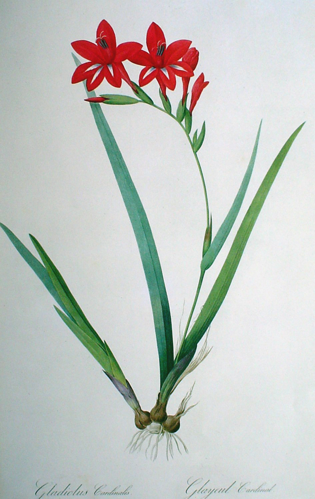 Botanical, Gladiolus Cardinalis by Pierre Joseph Redoute - offset lithograph fine art print