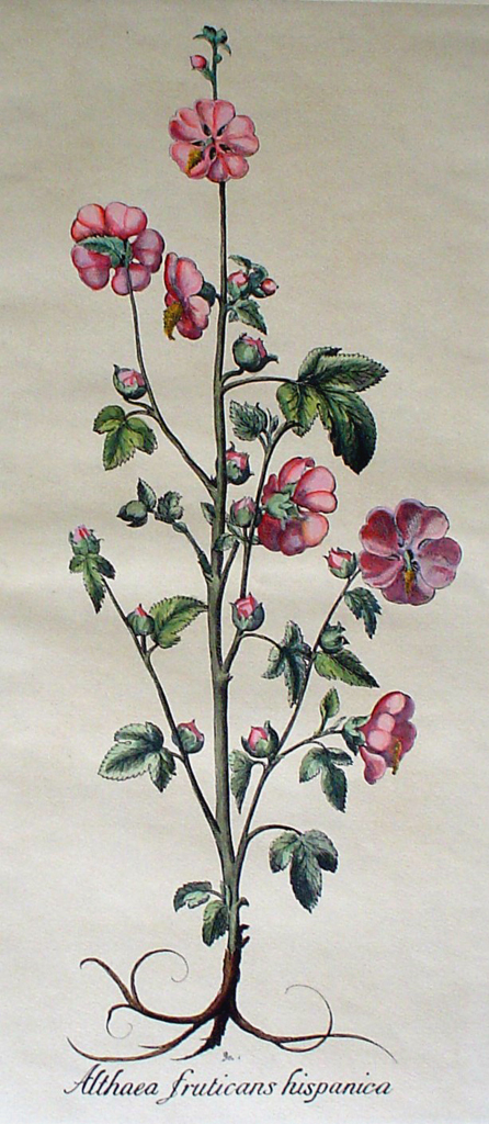 Botanical, Althea Fruticans Hispanica by unknown artist - restrike etching, hand-coloured original print