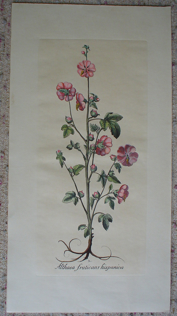 Botanical, Althea Fruticans Hispanica by unknown artist, shown with full margins - restrike etching, hand-coloured original print