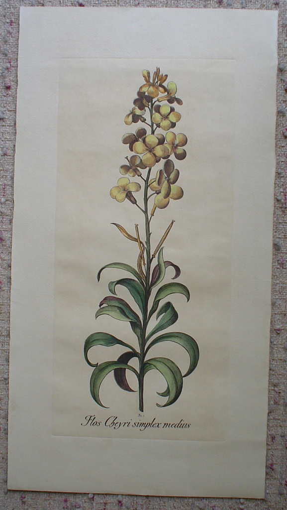 Botanical, Flos Cheyri Simplex Medius by unknown artist, shown with full margins - restrike etching, hand-coloured original print