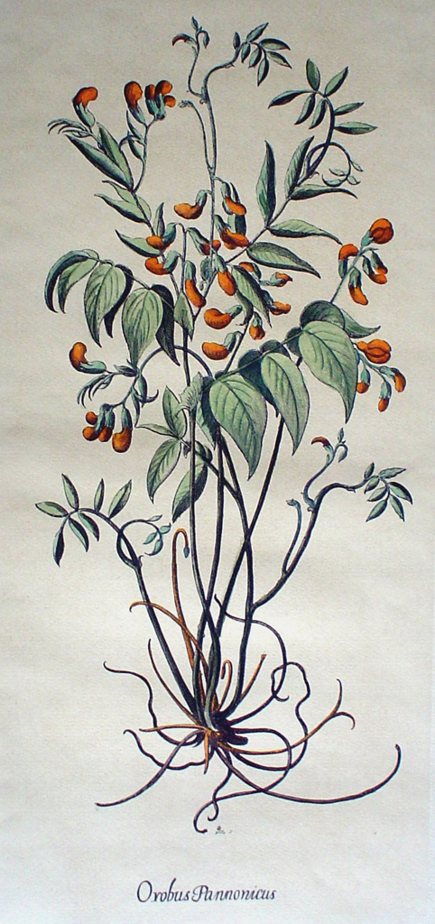 Botanical, Orobus Pannonicus by unknown artist - restrike etching, hand-coloured original print