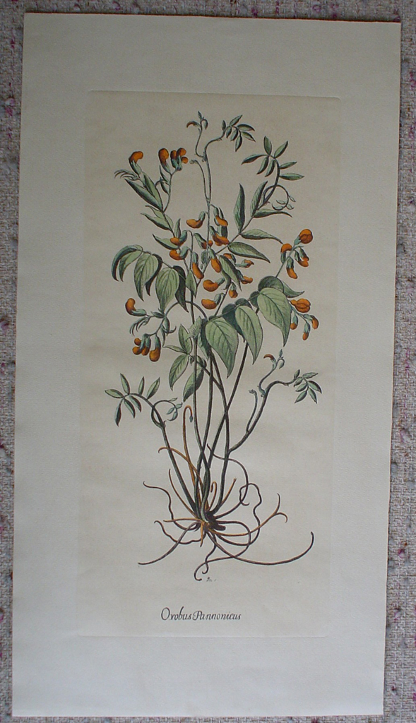 Botanical, Orobus Pannonicus by unknown artist, shown with full margins - restrike etching, hand-coloured original print