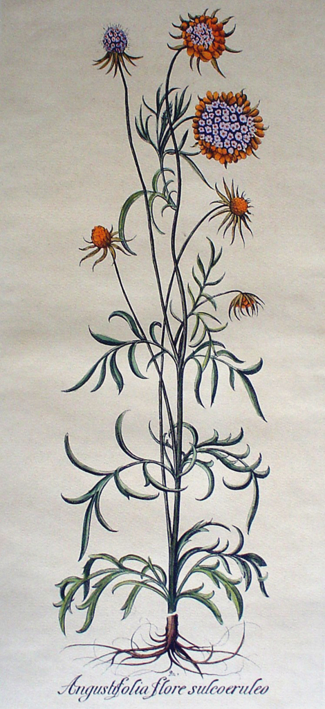 Botanical, Angustifolia Flore Sulcoeruleo by unknown artist - restrike etching, hand-coloured original print