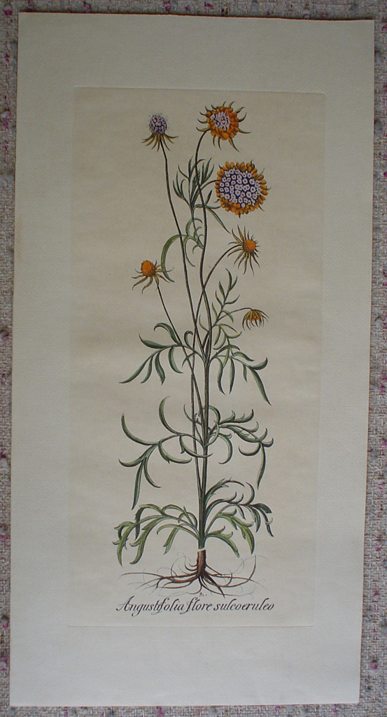 Botanical, Angustifolia Flore Sulcoeruleo by unknown artist, shown with full margins - restrike etching, hand-coloured original print