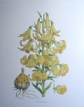 Botanical, Lilium Monadelphum by unknown artist - offset lithograph fine art print