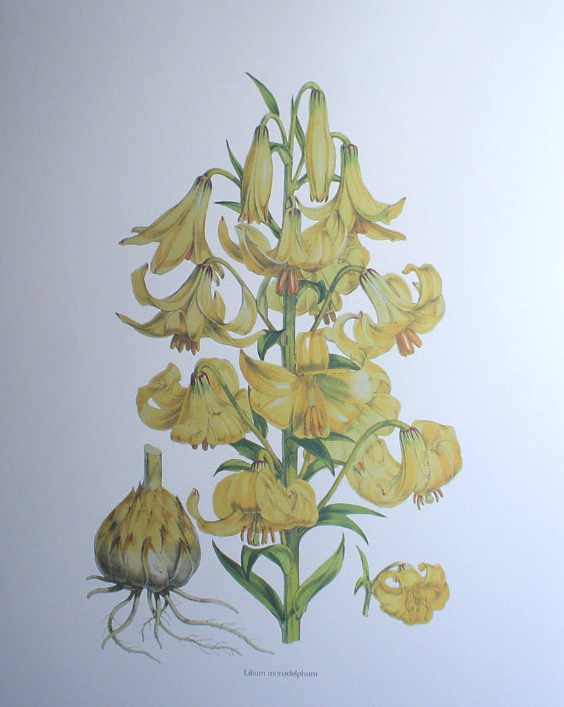 Botanical, Lilium Monadelphum by unknown artist - offset lithograph fine art print