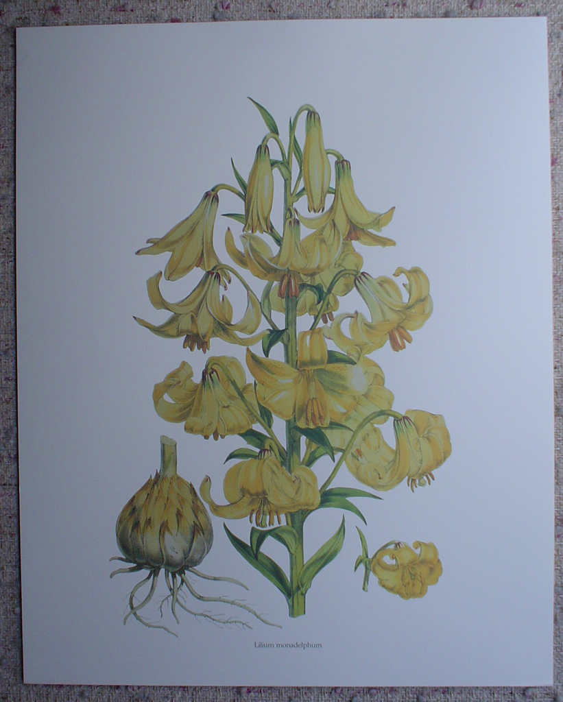 Botanical, Lilium Monadelphum by unknown artist, shown with full margins - offset lithograph fine art print