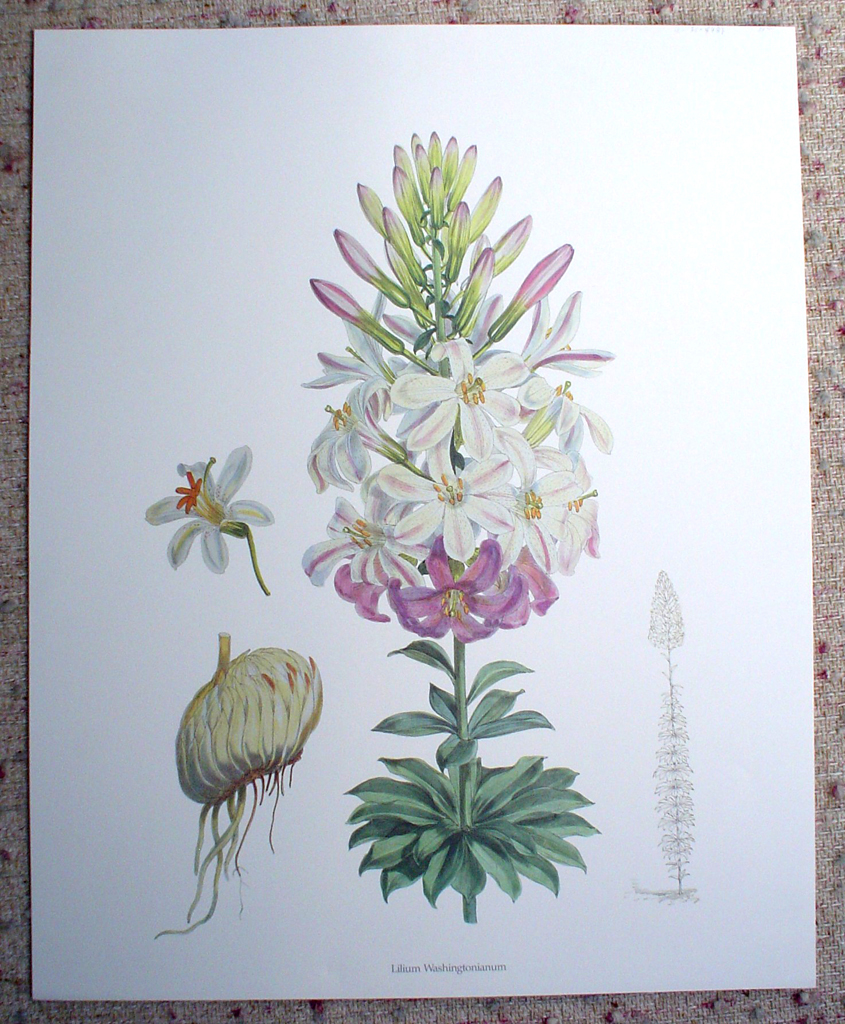 Botanical, Lilium Washingtonianum by unknown artist, shown with full margins - offset lithograph fine art print