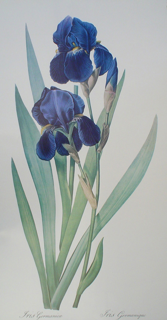 Botanical, Iris Germanica by unknown artist - offset lithograph fine art print