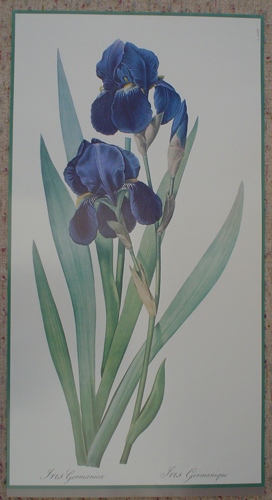 Botanical, Iris Germanica by unknown artist, shown with full margins - offset lithograph fine art print