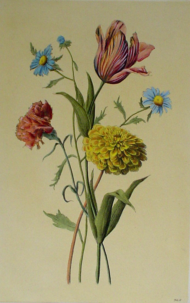 Botanical, Mixed Flowers Striped Tulip by unknown artist - restrike etching, hand-coloured original print