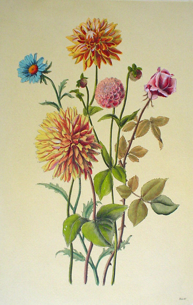 Botanical, Mixed Flowers Dahlia by unknown artist - hand-coloured original print