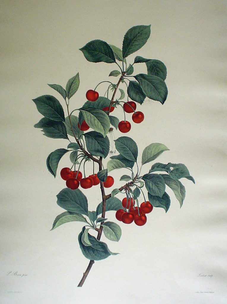 Botanical, Cherries by unknown artist - restrike etching, hand-coloured original print