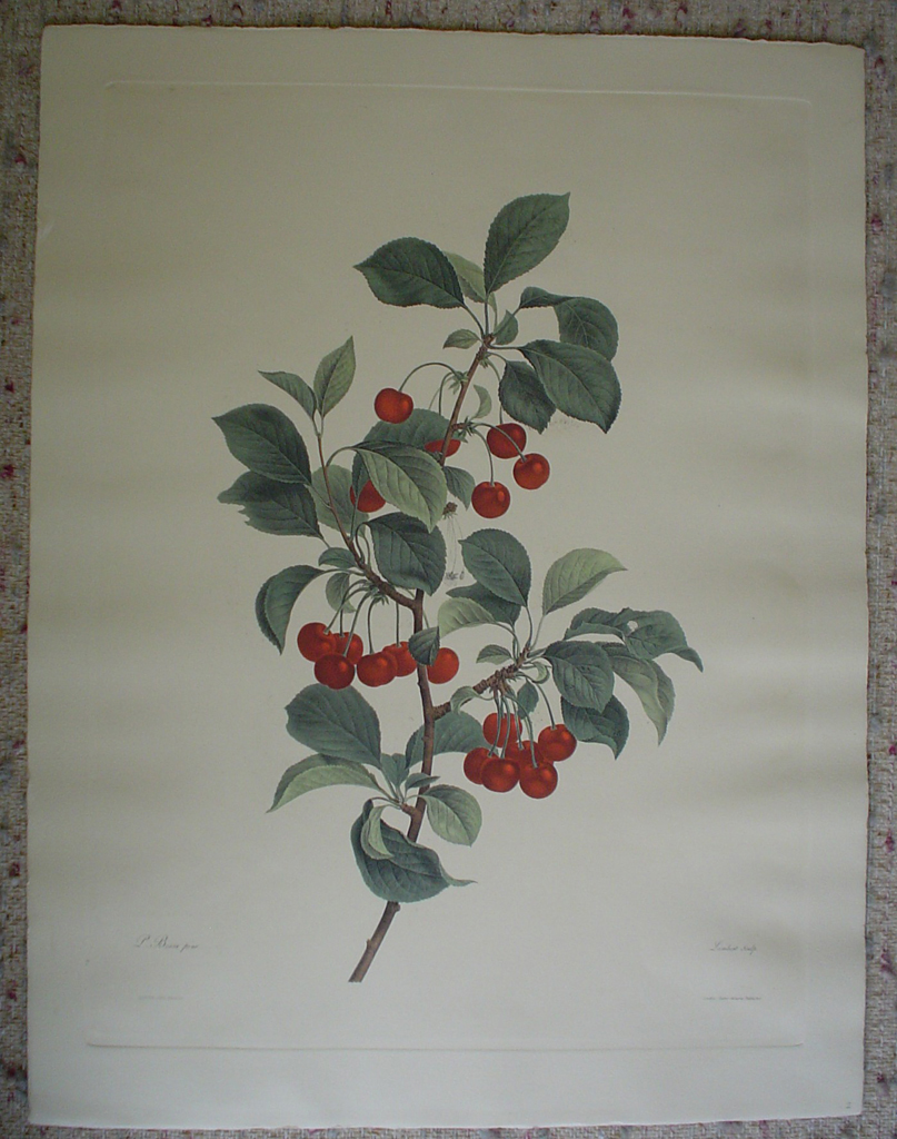 Botanical, Cherries by unknown artist, shown with full margins - restrike etching, hand-coloured original print