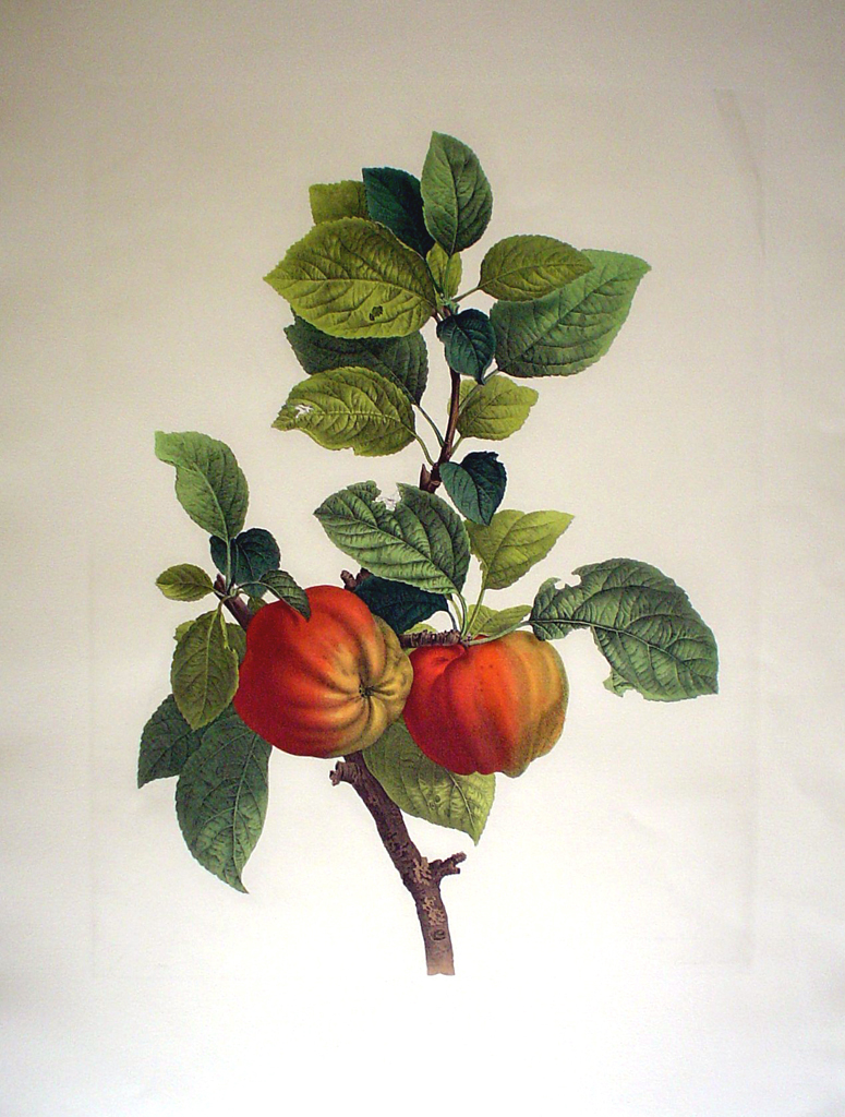 Botanical, Peaches by unknown artist - restrike etching, hand-coloured original print
