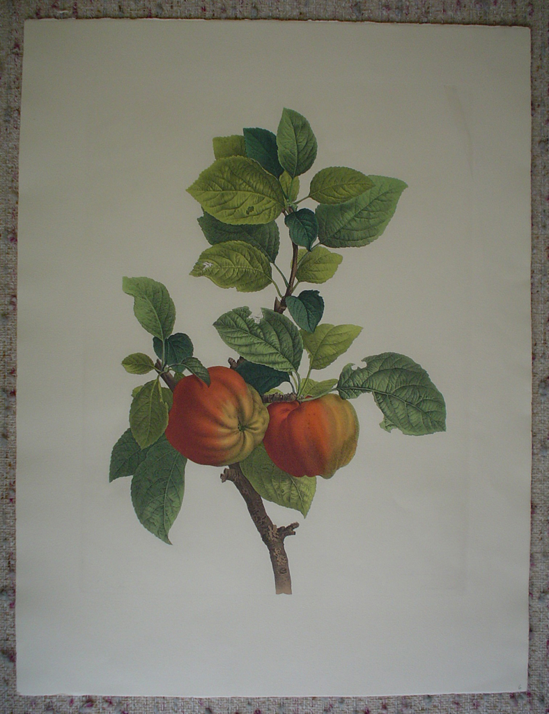 Botanical, Peaches by unknown artist, shown with full margins - restrike etching, hand-coloured original print