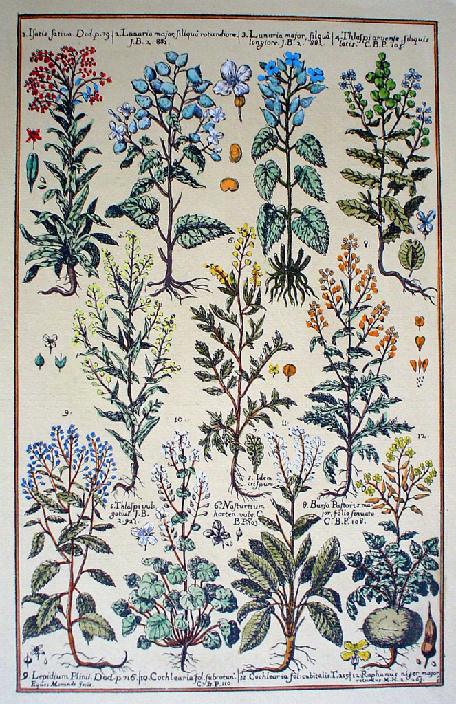 Botanical, Satis Sativa Lunaria And More by unknown artist, shown with full margins - restrike etching, hand-coloured original print