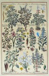 Botanical, Chelidonium Fumaria And More by unknown artist - restrike etching, hand-coloured original print