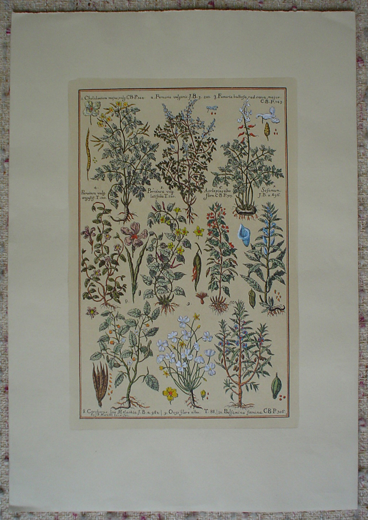 Botanical, Chelidonium Fumaria And More by unknown artist, shown with full margins - restrike etching, hand-coloured original print