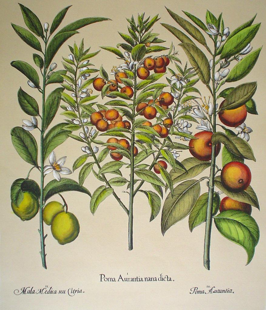 Botanical, Pomo Aurantia by unknown artist - restrike etching, hand-coloured original print