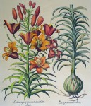 Botanical, Lilium Purpureum Marus by unknown artist - restrike etching, hand-coloured original print