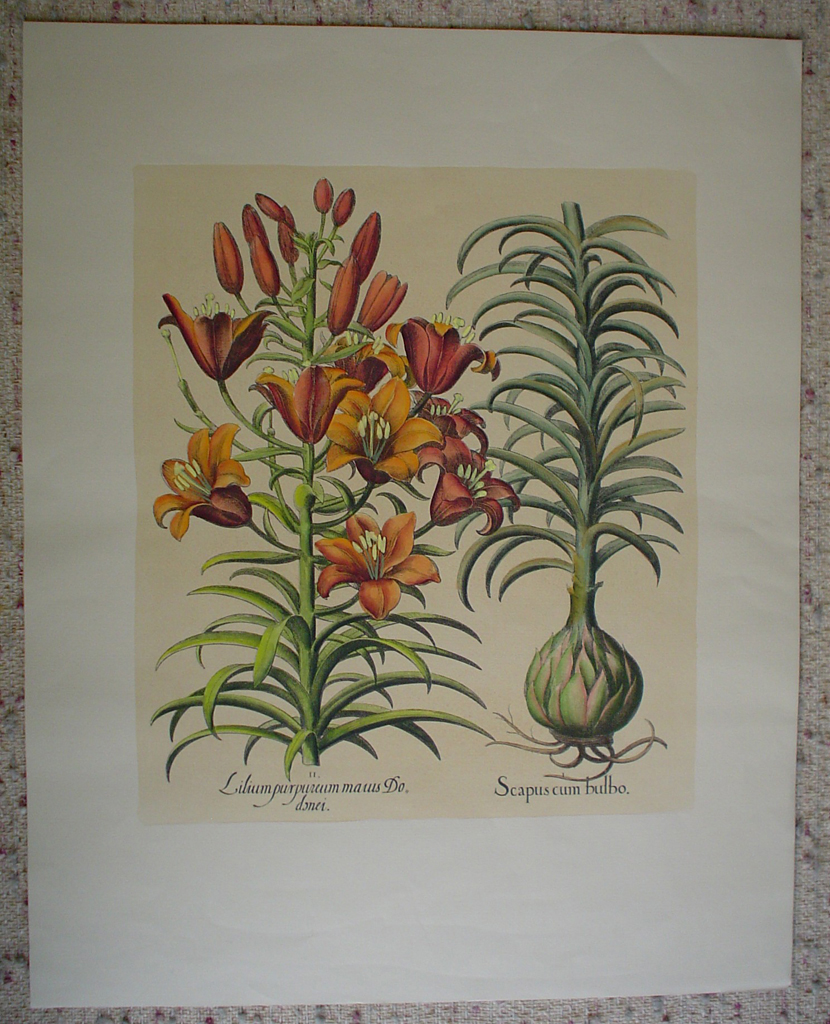 Botanical, Lilium Purpureum Marus by unknown artist, shown with full margins - restrike etching, hand-coloured original print