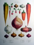 Botanical No.1,1850 Onions Carrots Radishes by Vilmorin Seed Co - offset lithograph fine art print