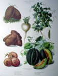 Botanical No.26,1875 Melon Potato Turnip Peas Cucumber by Vilmorin Seed Co - offset lithograph fine art print